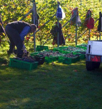 Besøg på en vingård i Kolding